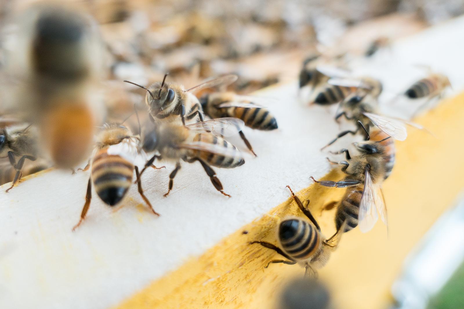 Les néonicotinoïdes représentent-ils un risque pour la santé des abeilles?